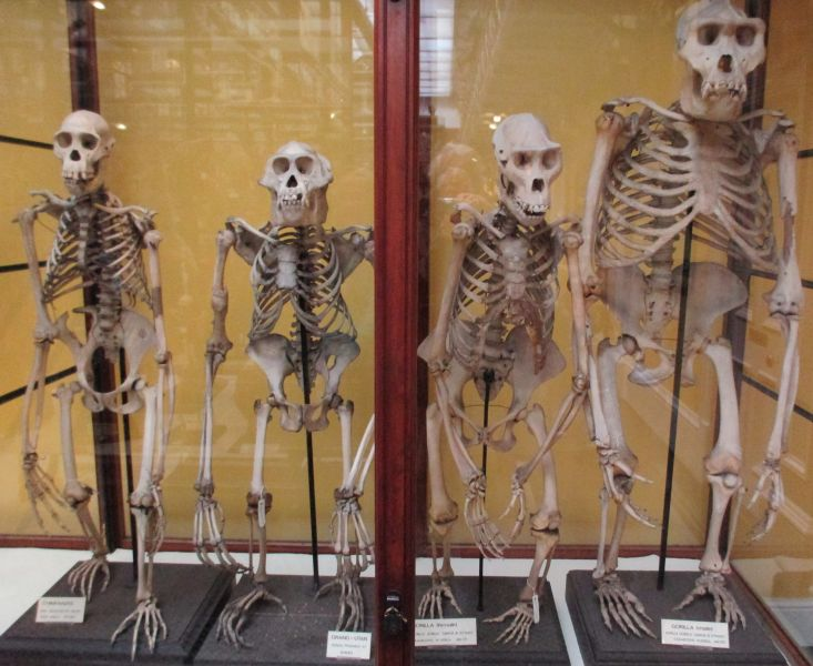 Skeletons of chimpanzee orang-utan gorilla gcse biology igcse O level revision