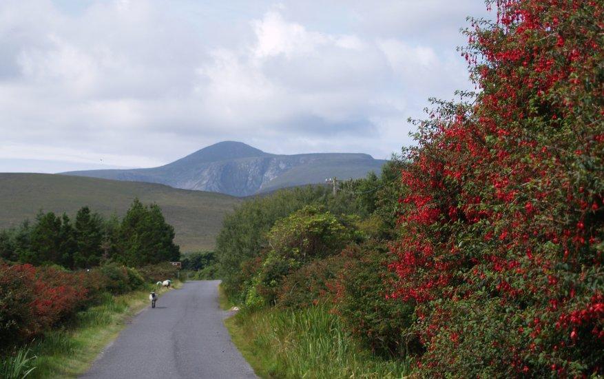 123 Fuchsia On The Road From Doogort Dugort To Dooagh