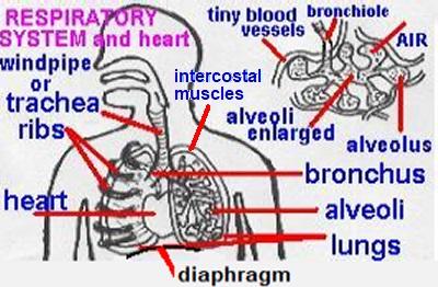 Ks3 biology quiz on food digestion respiration microbes organs4namesg ccuart Gallery